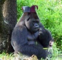 Gorilla-in-a-hat1
