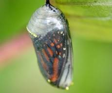Butterfly cocoon