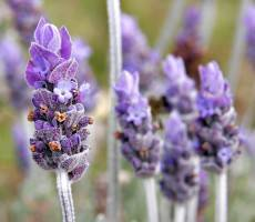 Workplace lavender